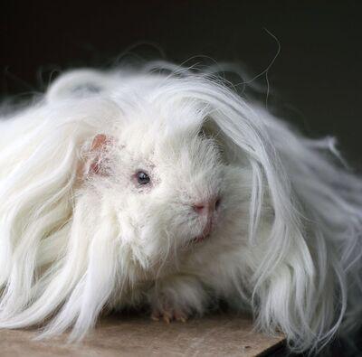Guinea-pig-breeds-lunkarya-1549313622.jpg