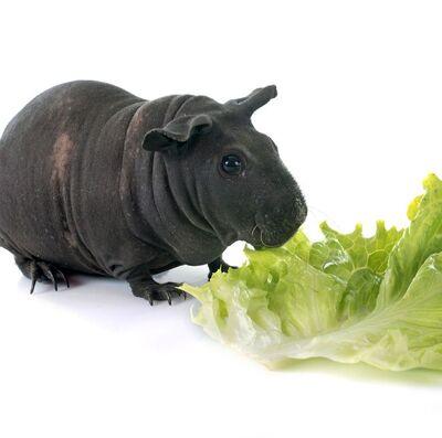 Guinea-pig-breeds-hairless-baldwin-1549384860.jpg