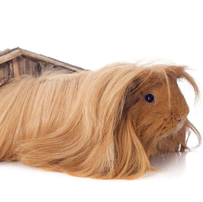 Guinea-pig-breeds-peruvian-1549311589.jpg