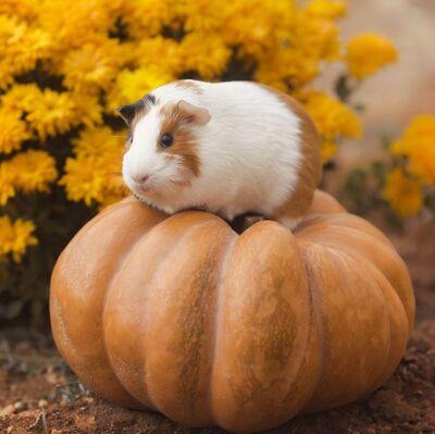 Guinea-pig-breeds-american-flowers-1549390080.jpg