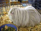 List of guinea pig breeds