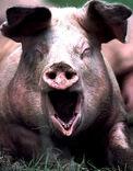 Domestic pig screaming 286e