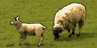 Glados screens sheep1