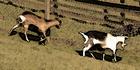 Glados screens goat002