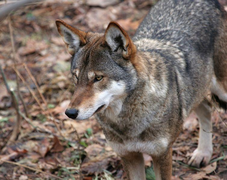 Arcturus Wolf