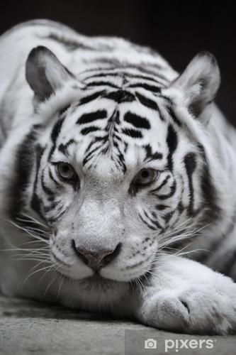 Jako tygrys