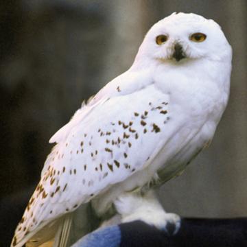 Lego Harry Potter Dark Gray Owl Animal Minifigure Minifig