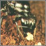 Miereneiertjes