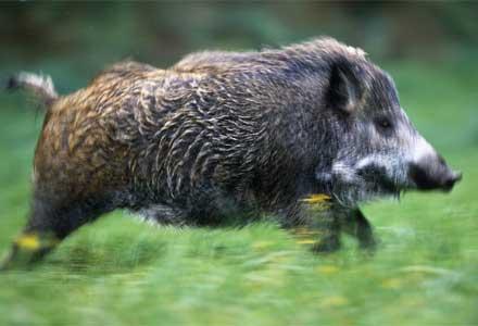 User Boar Patronus