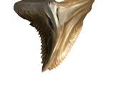 Shark fang