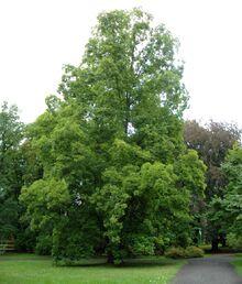 1206 30.08.2011 Orzesznik pięciolistkowy ( Carya ovata ).jpg