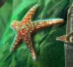 Étoile de mer (créature)