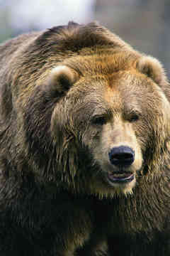 User Grizzly Bear Patronus