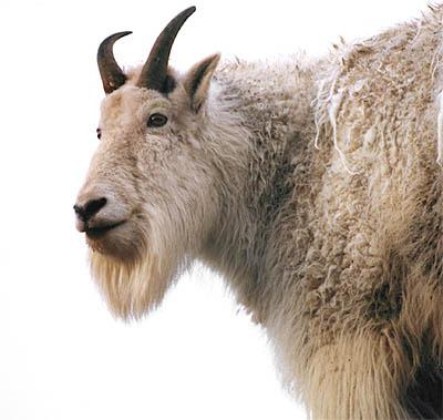 User Goat Patronus