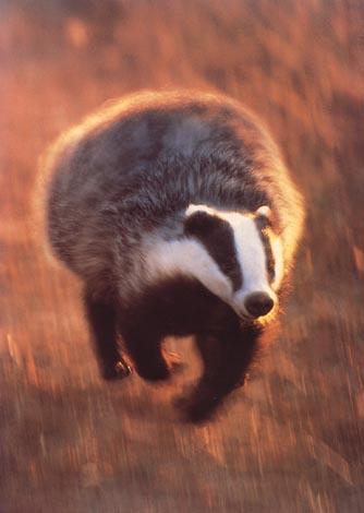 User Badger Patronus