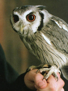 Mars (owl)