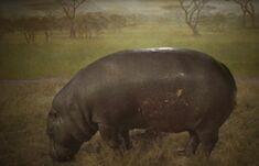 Obraz hipopotama.jpg