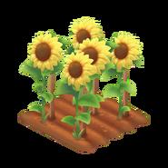 Sunflower Stage 4