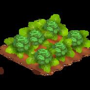 Broccoli Stage 4