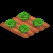 Lettuce Stage 3