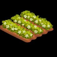 Strawberry Stage 3