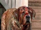 Cujo the dog