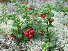 220px-Vaccinium vitis-idaea 20060824 003.jpg