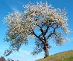 Un cerezo en flor