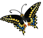 Short-tailed Swallowtail