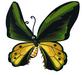 Goliath Birdwing