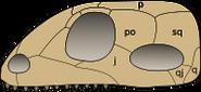 Synapsid skull