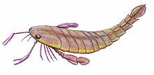 Pterygotus anglicus reconstruction.jpg