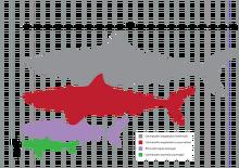 Megalodon size.png