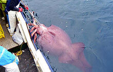 Colossal squid caught in February 2007.jpg