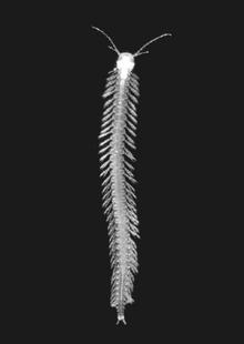 Speleonectes tanumekes unlabeled.png