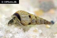 Melanoides tuberculata - Spotted Malaysian Trumpet Snail - 01