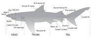 Parts of a shark