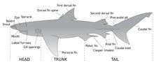 Parts of a shark.png