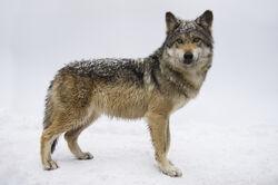 TO-S4-Wolf.jpg