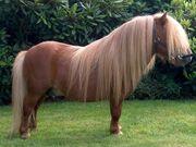 Shetland Pony 6489794.jpg