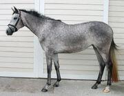 Dapple gray horse.jpg