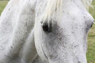 Dn fleabitten grey pony close up by chunga stock-d78zkqh.jpg