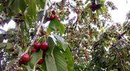 800px-Cherry trees in Tehran.
