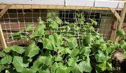 800px-Cucumber plants growing