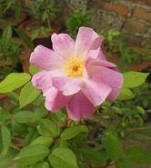 Pink Rose2
