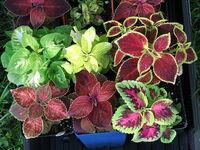 Coleus cultivars.jpg