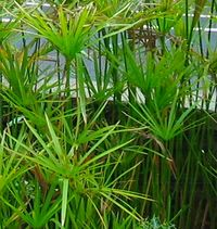 Cyperus alternifolius.jpg