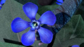 Fleur bleue de laurier rose