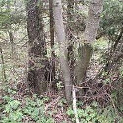 Erlenholz