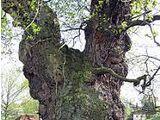 Englisches Eichenholz